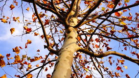 Maple tree from low angle, static shot. October day stock footage