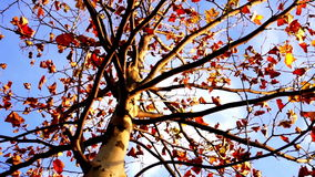 Maple tree from low angle, tripod rotation. November stock video