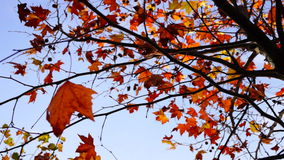 Maple tree from low angle, tripod rotation. Maple tree from low angle, pan move, november stock video footage