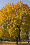 Maple tree with lush yellow foliage in autumnal day.  royalty free stock images