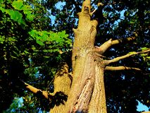 Maple tree. Trunk and branches view from below Stock Images