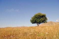 Maple tree on a meadow Royalty Free Stock Photo
