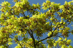 Maple tree new leaves and flower buds Royalty Free Stock Image