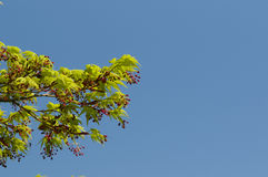 Maple tree new leaves and flower buds Stock Photo