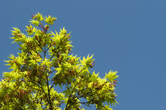 Maple tree new leaves and flower buds Royalty Free Stock Photography