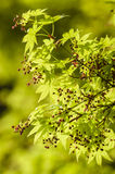 Maple tree new leaves and flower buds Stock Photos