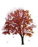 Maple Tree On White Stock Image