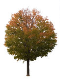Maple Tree On White Stock Photography