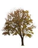 Maple Tree On White Stock Photos