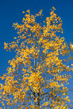 Maple Tree with Orange Leaves Against Blue Sky Royalty Free Stock Photography