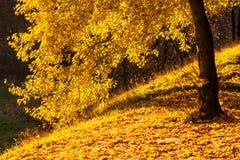 Autumn park yellow maple tree Stock Photo