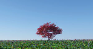 Maple tree in poppy landscape Royalty Free Stock Photo