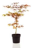 Maple tree Royalty Free Stock Photo