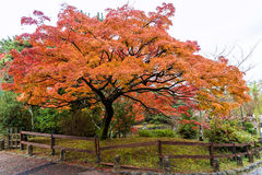 Maple tree in public park when autumn is coming Stock Photos