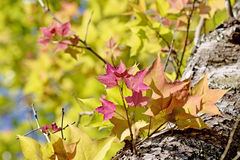 Maple tree in red Stock Photography