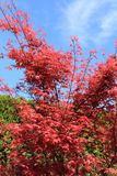 Maple tree. Stock Images