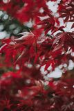Maple Tree With Red Leaves stock photo