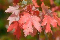 Maple tree with red leaves Stock Images