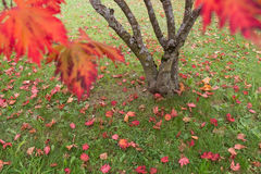 Maple tree with red leaves Royalty Free Stock Image