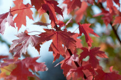 Maple tree with red leaves Royalty Free Stock Photography