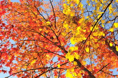 Maple tree with red leaves. Royalty Free Stock Photos