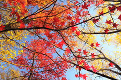 Maple tree with red leaves. Royalty Free Stock Photography