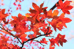 Maple tree with red leaves. Stock Images