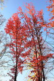 Maple tree with red leaves. Royalty Free Stock Image