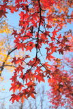 Maple tree with red leaves. Stock Photos