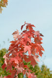 Maple tree with red leaves Royalty Free Stock Images
