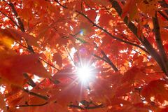Maple tree with red leaves under the sunlight during the autumn with a blurry background