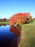 Maple tree reflection Stock Photo