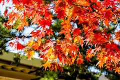 Maple tree roof back ground, maple leaves turn color from green to yellow, orange and bright red, the roof house background in sea. Son change of fall, autumn Royalty Free Stock Photography