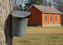 Maple tree with sap bucket Stock Photo