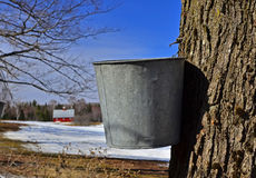 Maple tree with a sap bucket Stock Image