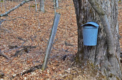 Maple tree with a sap bucket Royalty Free Stock Photos