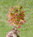 Maple tree seed pod cluster. Hand holding maple tree seed pod cluster Stock Images