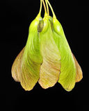 Maple Tree Seeds. A group of early spring maple tree seeds Royalty Free Stock Photography