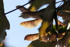 Maple tree seeds. Lighted through the maple tree seeds on the tree, the spring season, sunny weather Royalty Free Stock Photo