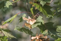 Maple tree with seeds. In the forest royalty free stock photo