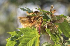 Maple tree with seeds. In the forest royalty free stock photos