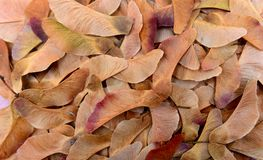 Maple tree seeds texture. Pattern nature background stock photos