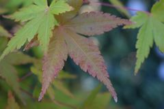 Maple tree showing its autumn colors stock images