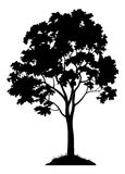 Maple Tree Silhouette. Maple Tree with Leaves and Grass Black Silhouette Isolated on White Background. Vector Royalty Free Stock Image