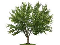 Maple Tree Stock Photo