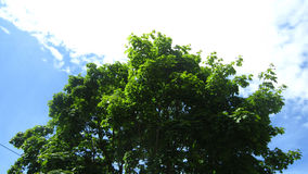 Maple tree and sky Stock Images