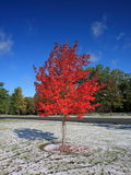 Maple tree and snow Stock Photography