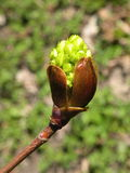 Maple tree  spring bud Royalty Free Stock Image