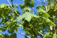 Maple tree in the spring Stock Images