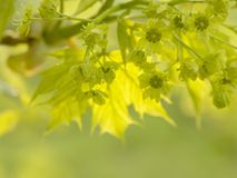 Maple tree with spring leaves Stock Photography
